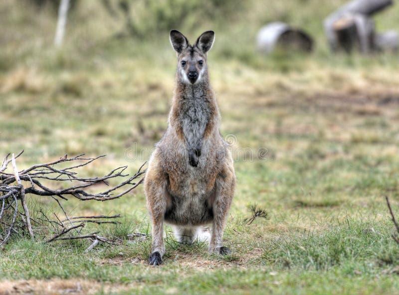 Wallaby stockbilder