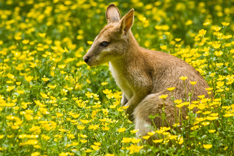 Wallaby. The wallaby, a small kangaroo, lives in east Australia stock image