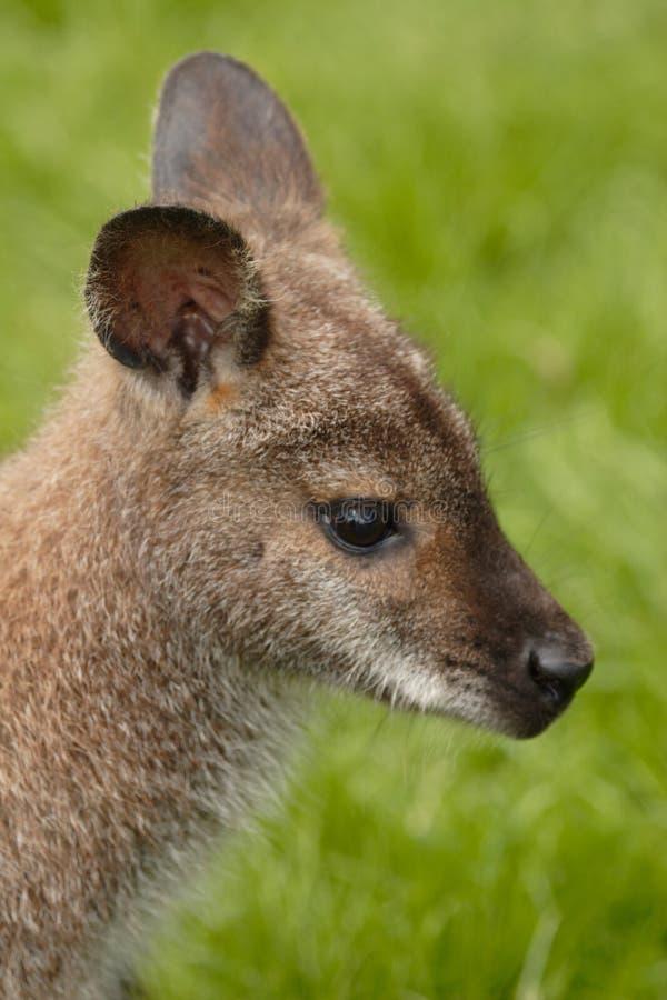 Wallaby fotos de archivo libres de regalías