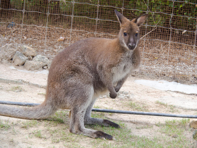 wallaby photo stock