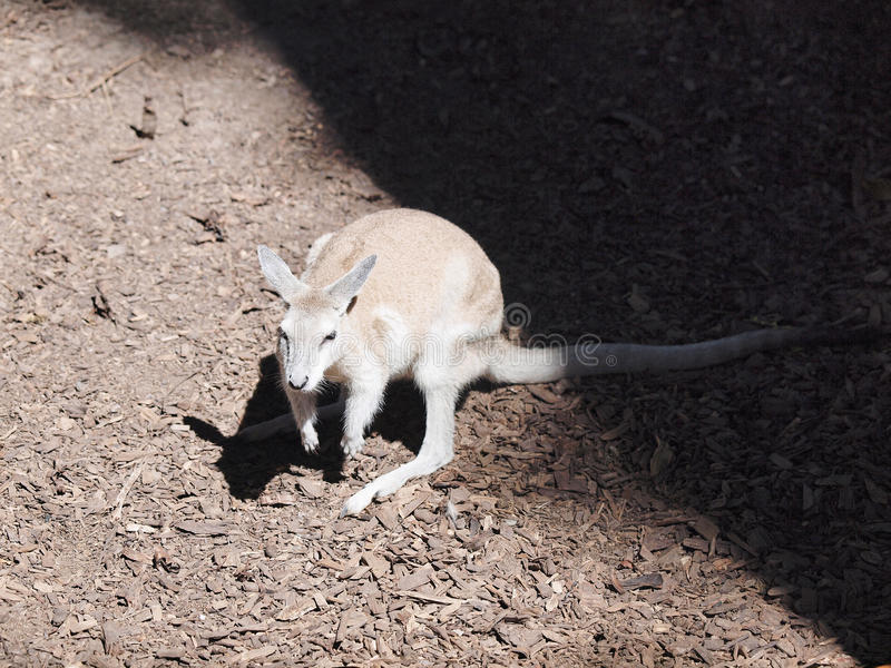 wallaby stock afbeeldingen