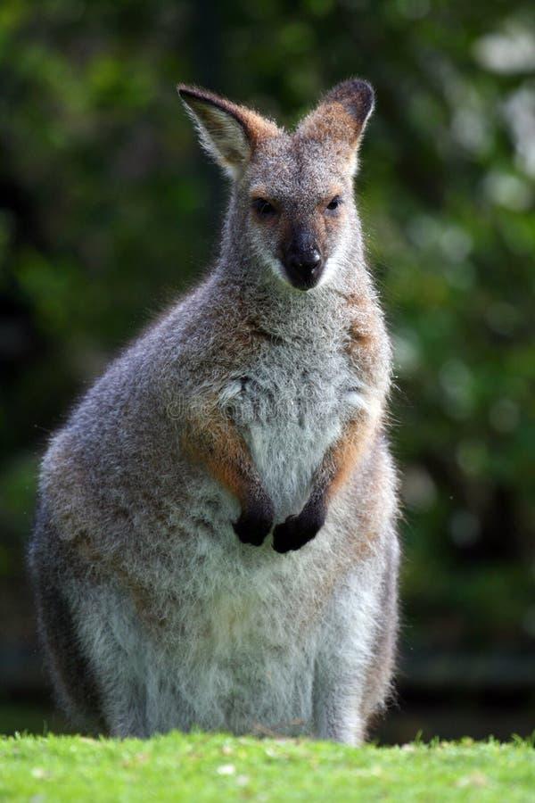 Wallaby fotografía de archivo libre de regalías