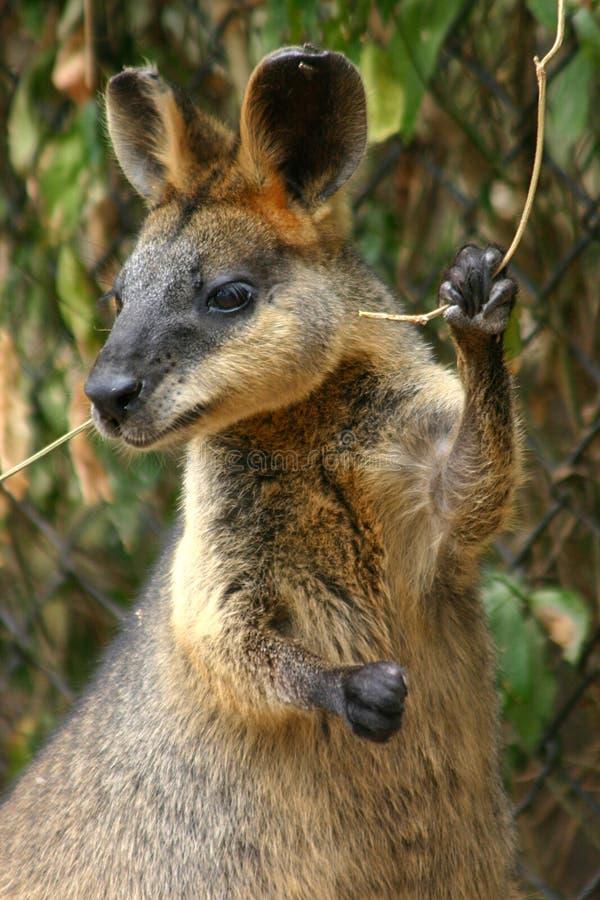 wallaby στοκ εικόνες με δικαίωμα ελεύθερης χρήσης