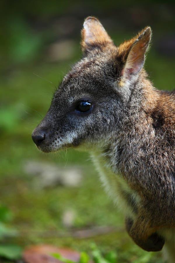 Wallaby imagen de archivo