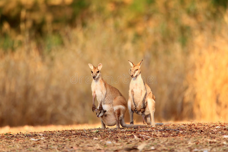 Wallaby agile images stock
