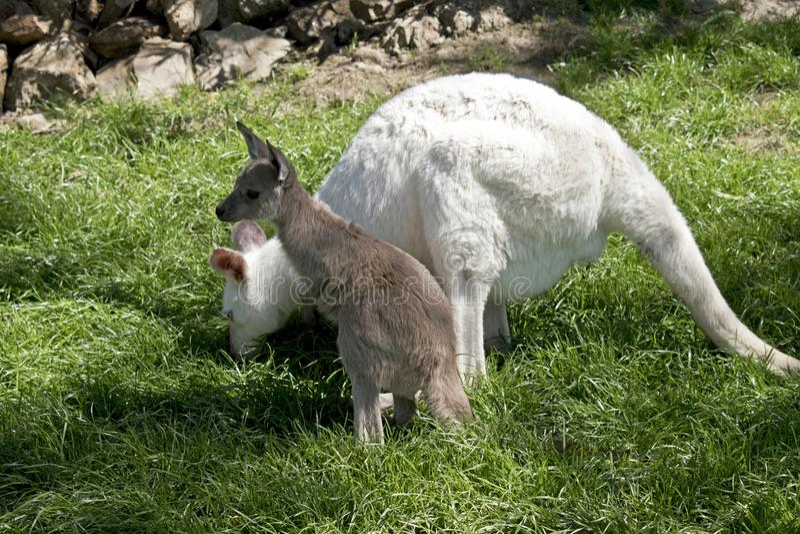 Wallaby albinos et joey brun photo stock