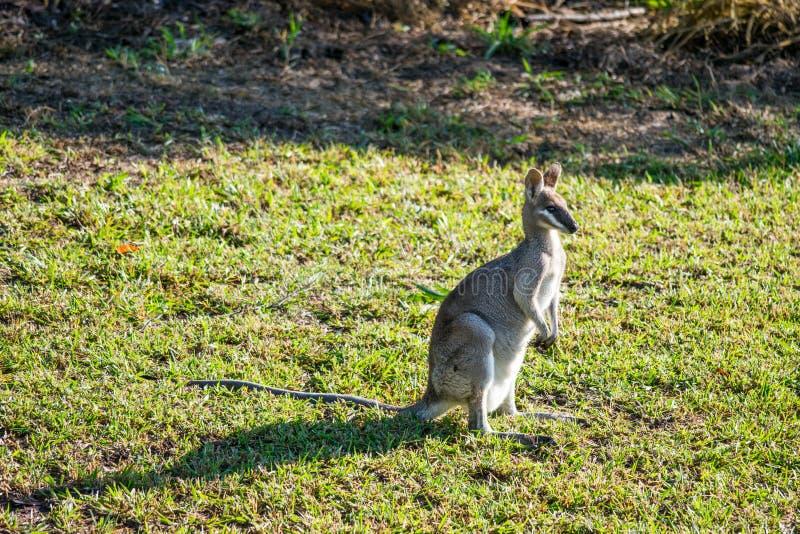 Wallaby au lever de soleil en Agnes Water photographie stock libre de droits