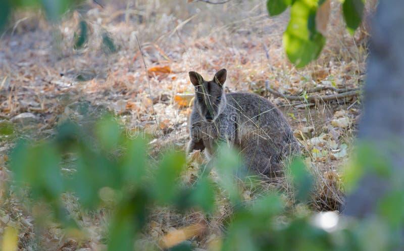Wallaby australiano imágenes de archivo libres de regalías