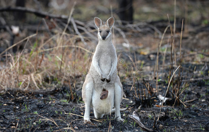 Wallaby with baby joey stock images
