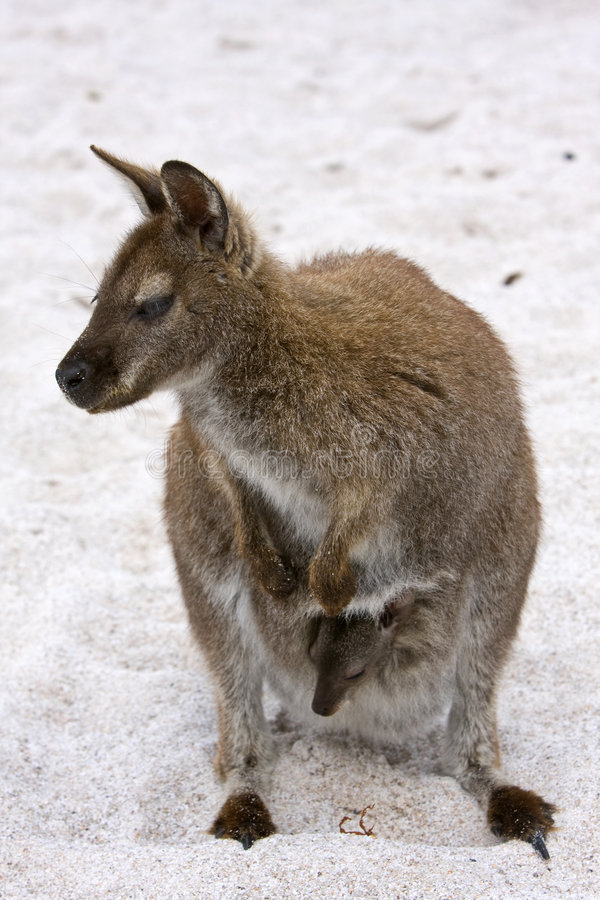 Download Wallaby On The Beach Royalty Free Stock Images - Image: 8939179