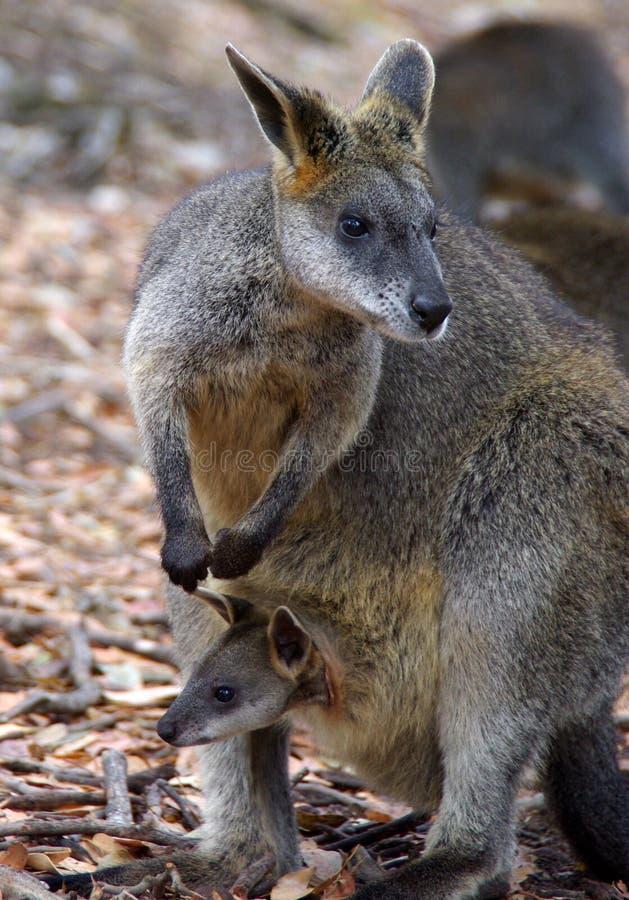 Wallaby com o Joey no malote fotografia de stock royalty free