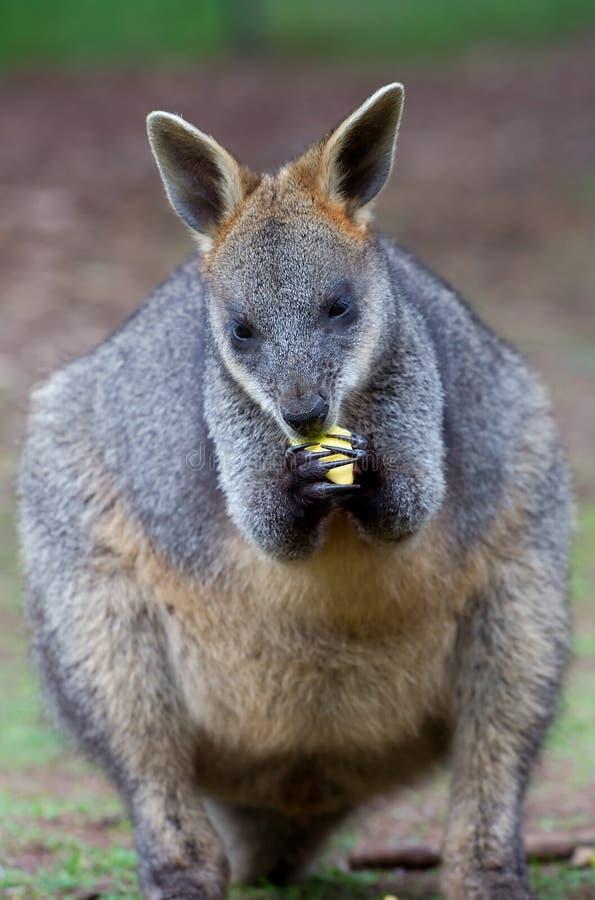Wallaby de alimentação imagens de stock