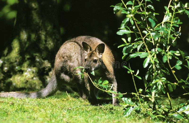WALLABY DE BENNETT macropus rufogriseus royalty free stock photos