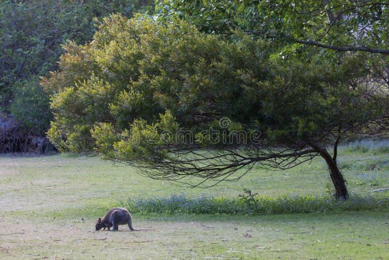 Wallaby de Bennetts frôlant dans le domaine tasmanien photographie stock