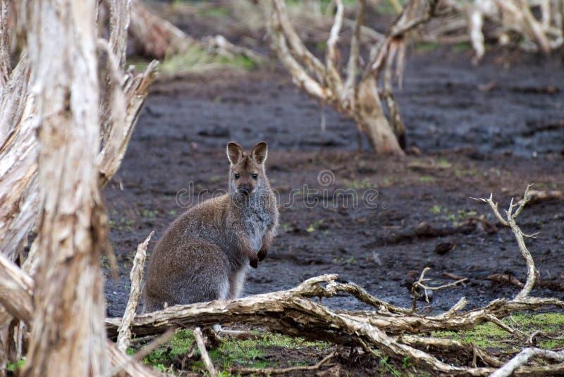 Wallaby de cuello rojo imagen de archivo