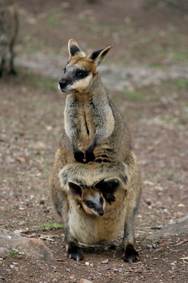 Wallaby de la madre y del bebé fotos de archivo