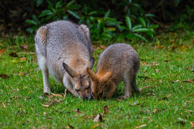 Wallaby de pescoço encarnado fotos de stock royalty free