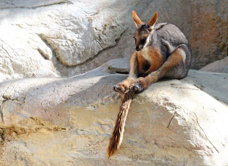 Wallaby de roca imagenes de archivo