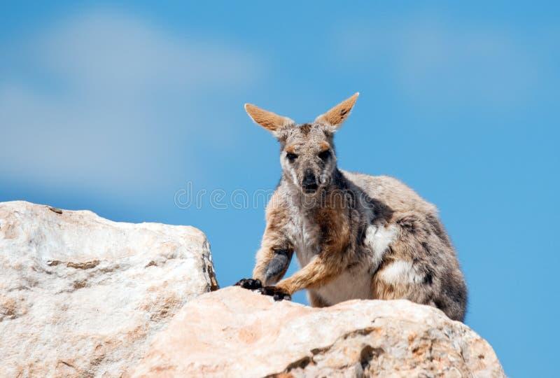Wallaby de roca footed amarillo imagenes de archivo