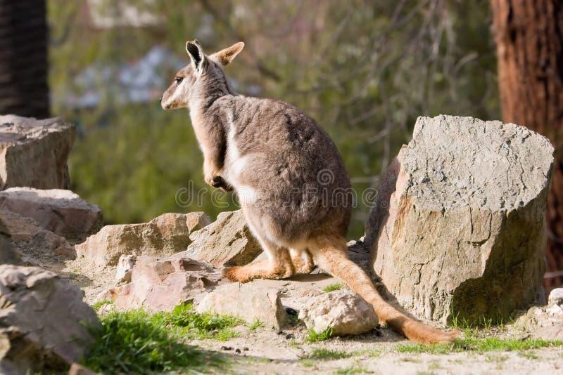 Wallaby de rocha fotos de stock