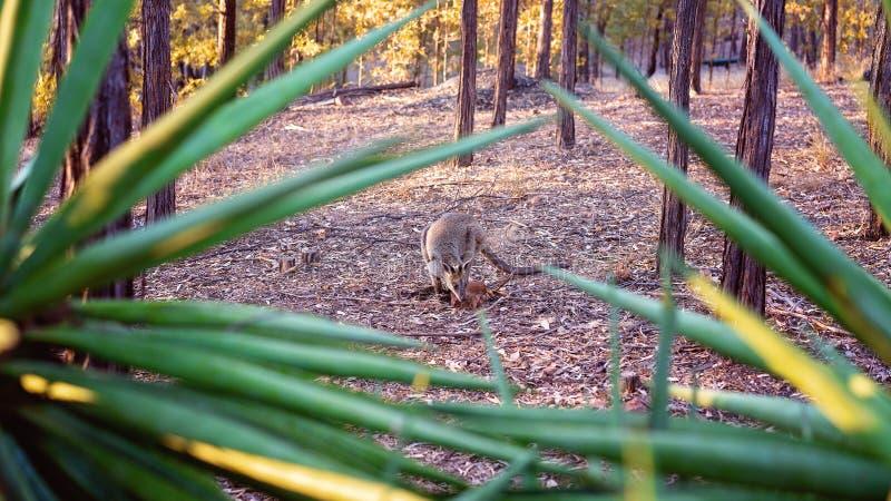 Wallaby de roche australien image libre de droits