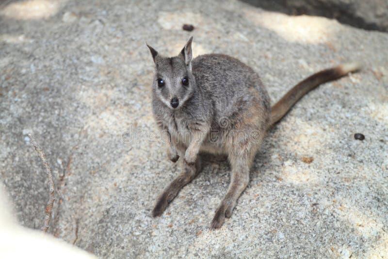 Wallaby de roche de Mareeba photographie stock