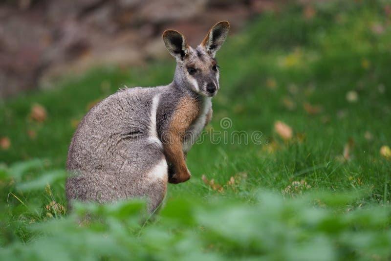wallaby de roche Jaune-aux pieds - xanthopus de Petrogale - kangourou australien photos libres de droits