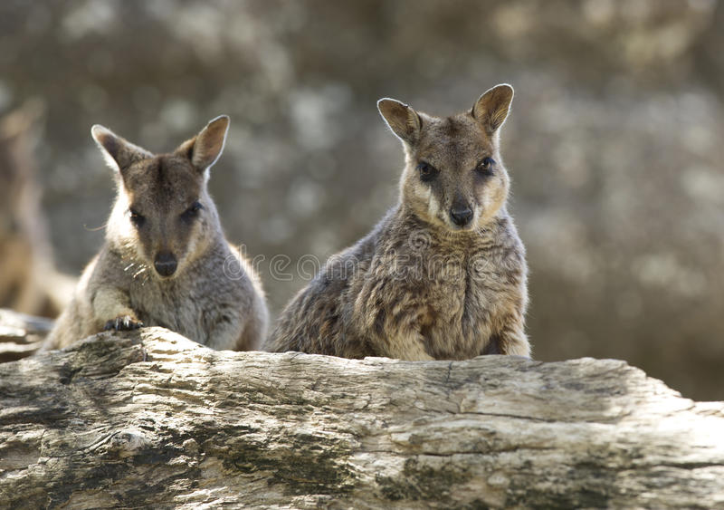 Wallaby de roche sauvages de mareeba, rivière de mitchell, cairns, Queensland, photographie stock