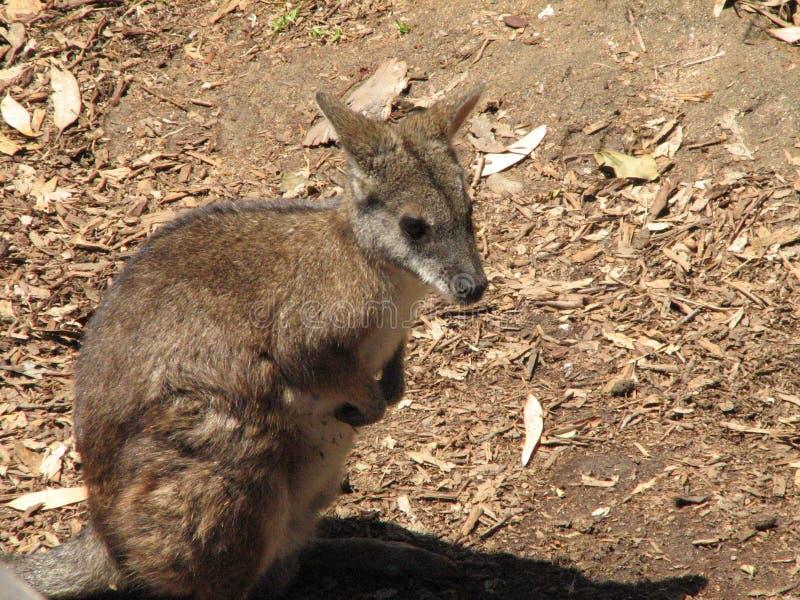 Wallaby de roche se reposant  images stock
