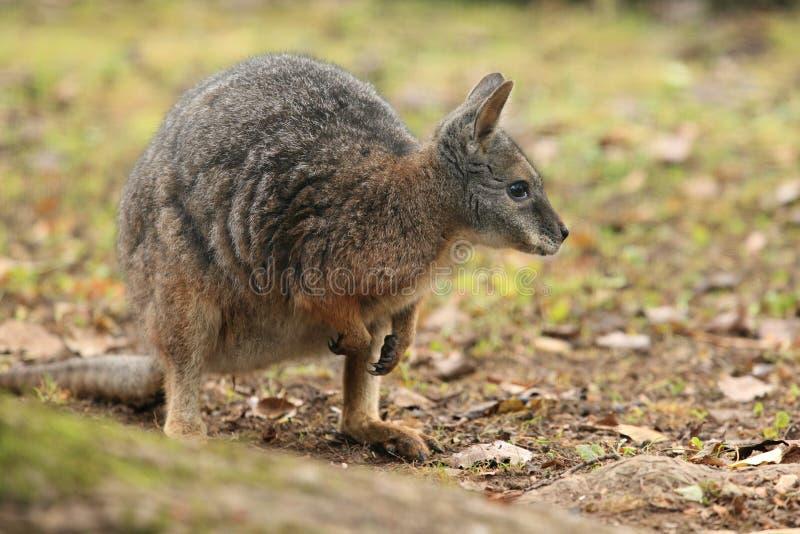 Wallaby de Tammar fotos de stock