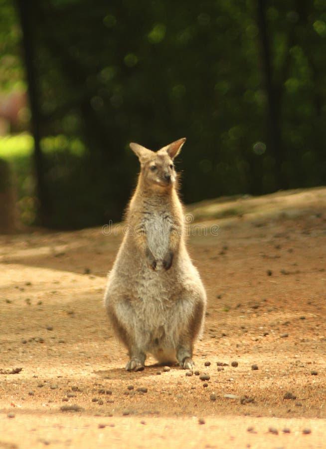 Wallaby of de wallabyrufogriseus met rode hals van Macropus van Bennett ` s stock fotografie