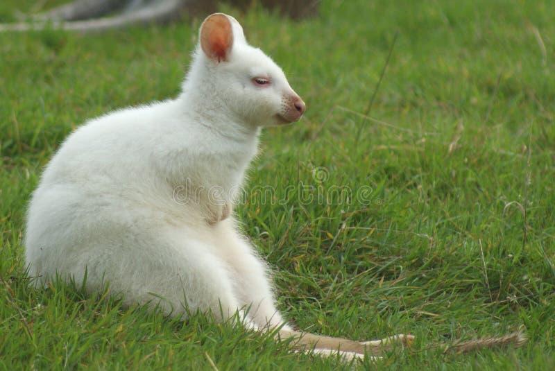 Wallaby del albino imagenes de archivo