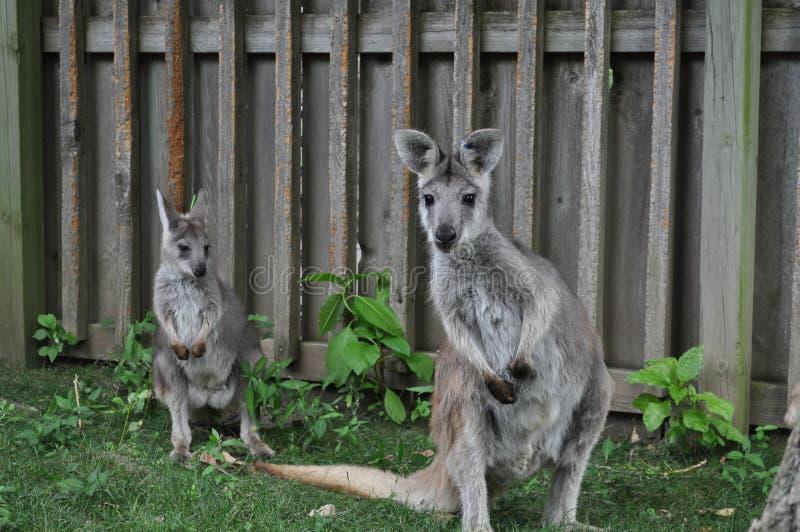 Wallaby del bambino e della madre immagine stock libera da diritti