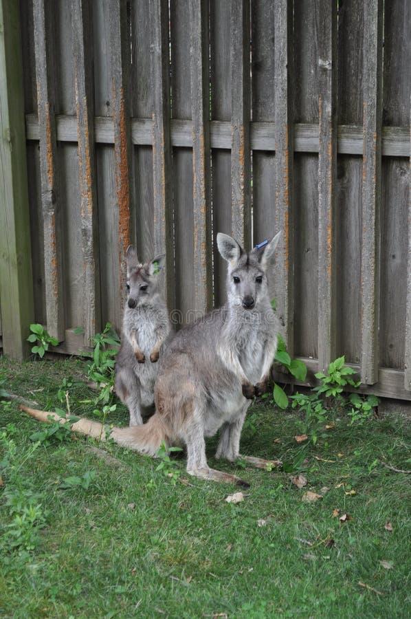 Wallaby del bambino e della madre fotografia stock