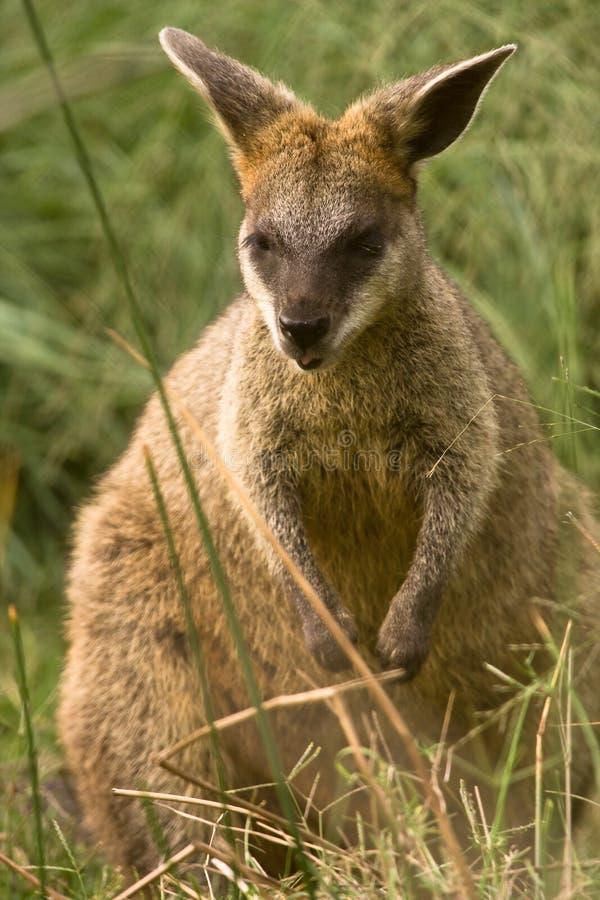 Wallaby del pantano imagenes de archivo