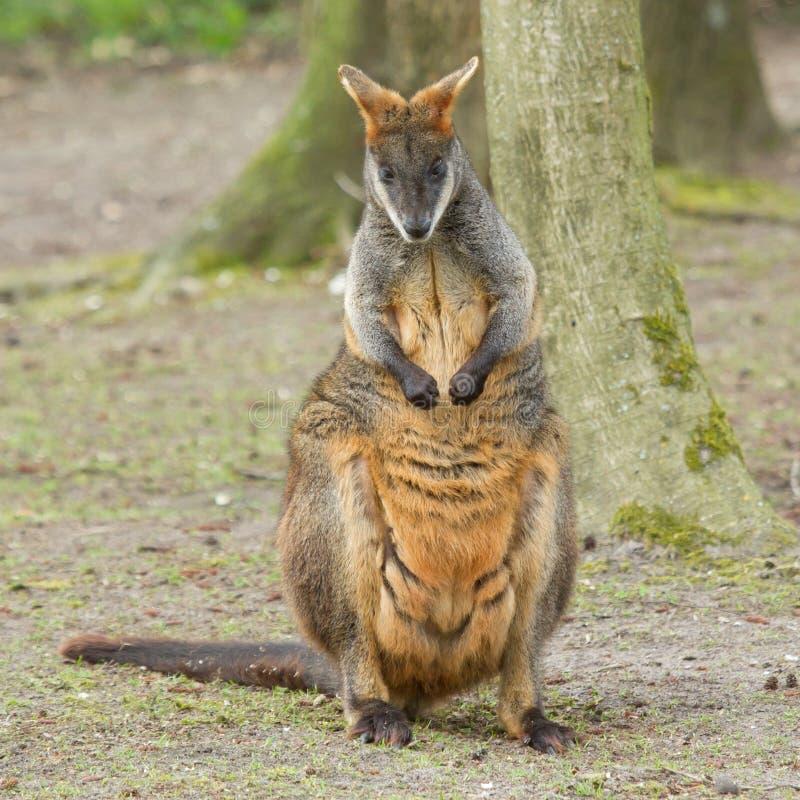 Wallaby del pantano del primer imagen de archivo libre de regalías