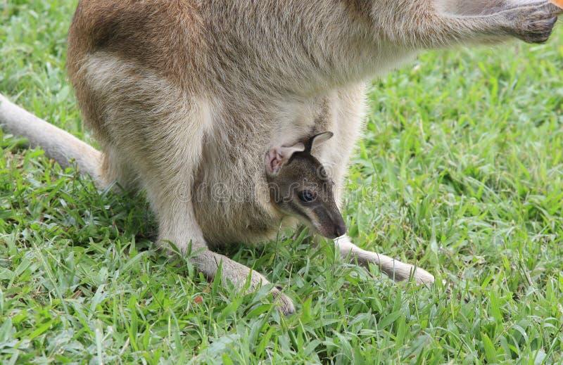 Wallaby della mummia e joey del bambino fotografia stock libera da diritti