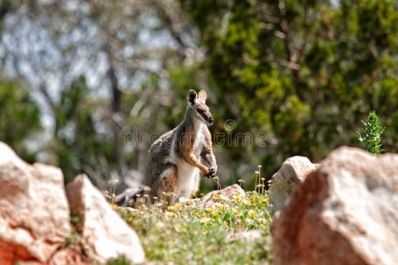 Wallaby di roccia footed giallo immagine stock
