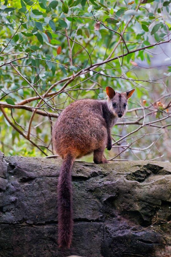 wallaby di roccia Spazzola-munito fotografia stock