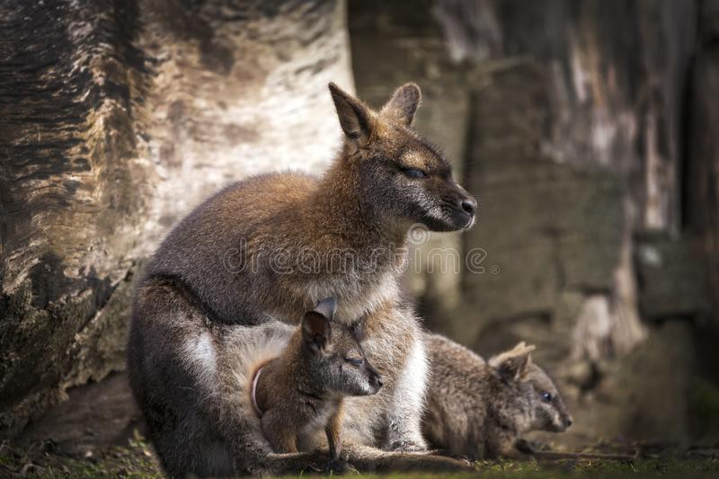 Wallaby doe and newborn joey royalty free stock image