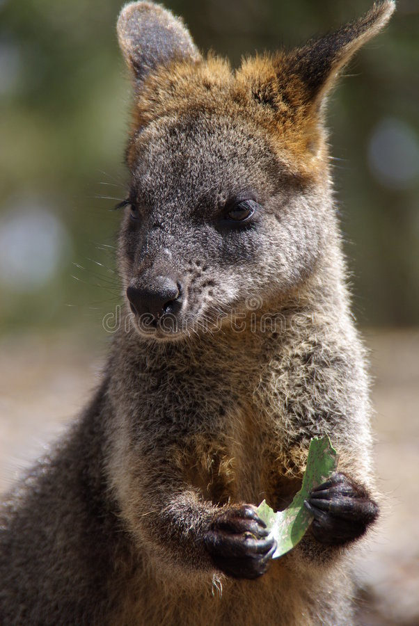 Wallaby Eating Leaf royalty free stock photo