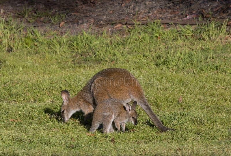 Wallaby en joey royalty-vrije stock foto