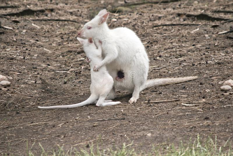 Wallaby et maman de joey albinos image libre de droits