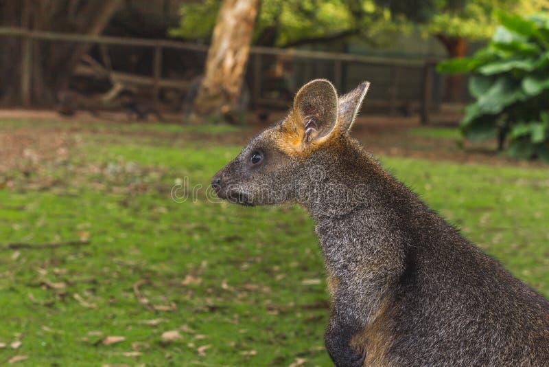 Wallaby in het Australische binnenland royalty-vrije stock afbeeldingen