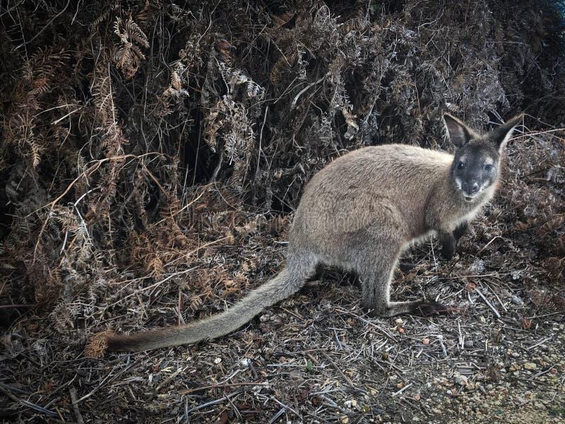 Wallaby im Busch in Tasmanien lizenzfreies stockbild