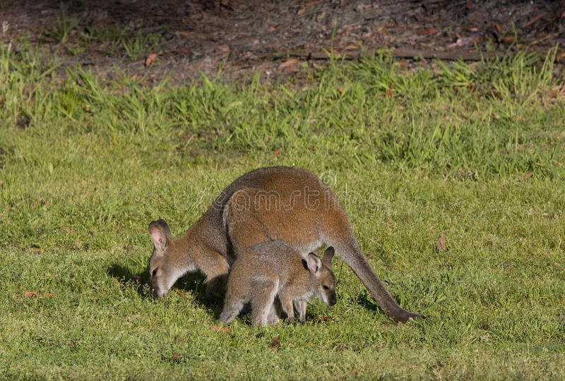 Wallaby and joey. Wallaby with joey outside of pouch royalty free stock photo