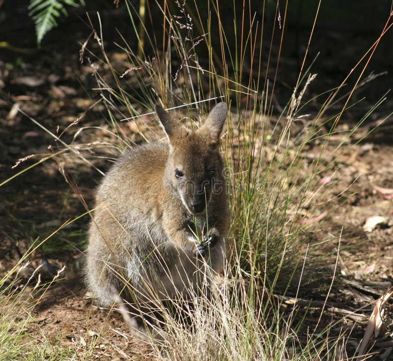 Download Wallaby Joey, Australia stock image. Image of wildlife - 8107433