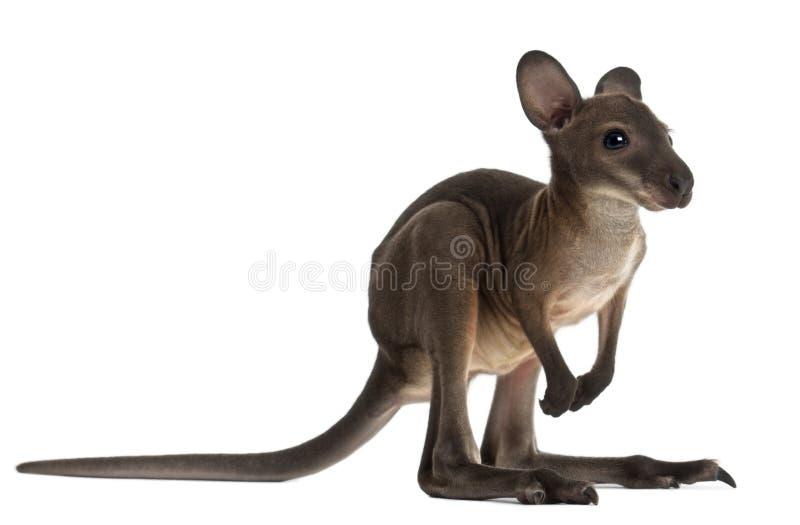 Wallaby, Macropus robustus, 3 maanden oud royalty-vrije stock foto