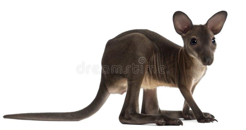 Wallaby, Macropus robustus, 3 maanden oud royalty-vrije stock afbeeldingen