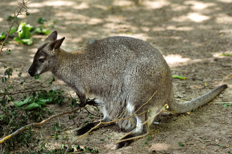 Wallaby met rode hals stock foto